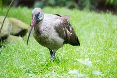 Hadada ibis Royalty Free Stock Photos