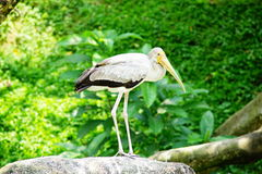 Hadada ibis. Stand on the stone Stock Photography