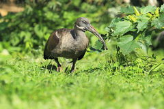 Hadada ibis Stock Photo