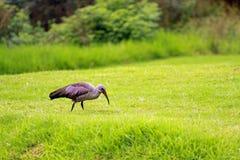 Hadada ibis. Sun City area, South Africa stock image