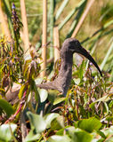 An Hadada Ibis in the swamps Royalty Free Stock Photo