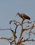A Hadada Ibis on top of a tree Royalty Free Stock Image