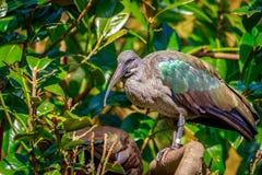 Hadada Ibis on Tree Branch Royalty Free Stock Photo