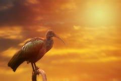 Hadada Ibis on the tree, sunset or sunrise Royalty Free Stock Photos