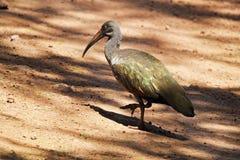 Hadada ibis walking Royalty Free Stock Photos