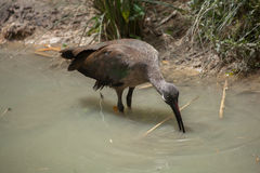 Hadada ibis & x28;Bostrychia hagedash& x29; Stock Photos