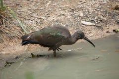 Hadada ibis (Bostrychia hagedash) Royalty Free Stock Photos