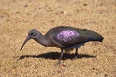 Hadada lub Hadeda ibis Fotografia Stock
