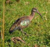 A Hadadah Ibis walks in a grassy swamp in Uganda Stock Images