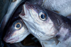 Haddock Stock Photo