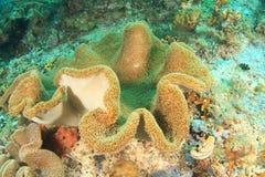 Haddon´s anemone Stock Image
