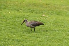 hadeda ibis zdjęcia stock