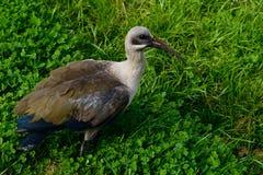 hadeda ibis obrazy stock