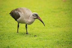 hadeda ibis zdjęcie stock