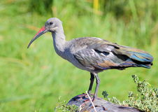 Hadeda Ibis. Photographed near Cape Town, South Africa Stock Image