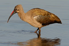 Hadeda Ibis Royalty Free Stock Photography