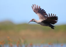 Hadeda Ibis Royalty Free Stock Photos