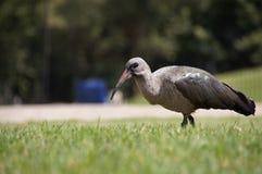 hadeda ibis Arkivbild
