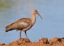 Hadeda Ibis Stock Photography
