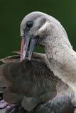 Hadeda ibis Fotografia Royalty Free