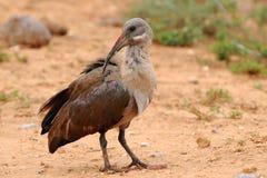Hadeda ibis Royalty Free Stock Image