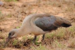 Hadeda ibis imagens de stock royalty free