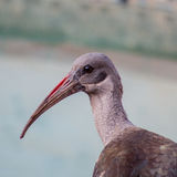 Hadeda or Ibis bird Royalty Free Stock Images