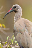 Hadeda Ibis (Bostrychia hagedash) royalty free stock image