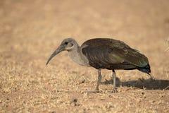 Hadeda ibis, Bostrychia hagedash Stock Images