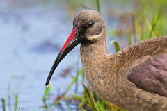 Hadeda ibis closeup wading. In water wet grass forage stock image