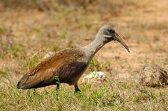 Hadeda Ibis (hagedash di Bostrychia) Immagine Stock Libera da Diritti