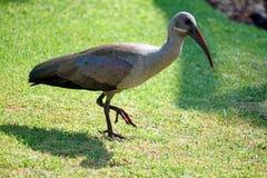 Hadeda ibis on a lawn. Hadeda ibis - Bostrychia hagedash - on a lawn in Sun City, South Africa stock photography