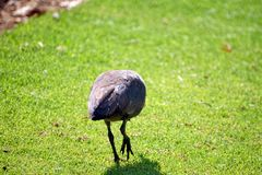 Hadeda ibis on a lawn. Hadeda ibis - Bostrychia hagedash - on a lawn in Sun City, South Africa royalty free stock image