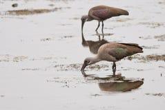 Hadeda ibis Stock Photo