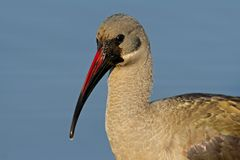 Hadeda Ibis portrait Stock Photo