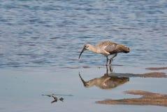 Hadeda ibis Stock Photography