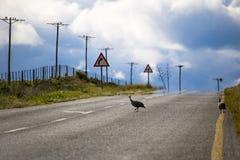 Hadeda krzyżuje wiejską drogę z dramatycznym niebem fotografia royalty free