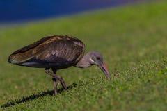 Hadedah Ibis Bird Digging royalty free stock image