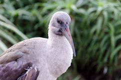 Hadida Ibis at Birds of Eden in Plettenberg Bay South Africa Royalty Free Stock Photo