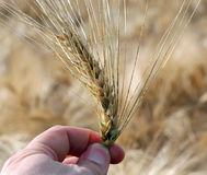 Hadn of farmer  that controls the ear of wheat to ensure it is r. Farmer`s hand that controls the ear of wheat to ensure it is ripe in summer Royalty Free Stock Images