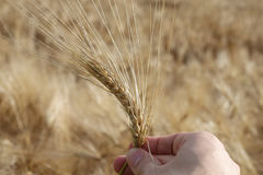 Hadn of farmer  that controls the ear of wheat to ensure it is r. Farmer`s hand that controls the ear of wheat to ensure it is ripe in summer Royalty Free Stock Photos