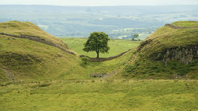 Hadrian's Wall. Cumbria UK.  Hadrien's wall runs along two hills with a lone tree sitting in between Royalty Free Stock Photo