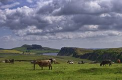 Hadrian's Wall, Northunbria. A view of Highshield Crags on Hadrian's wall, Northumberland, England. Cattle grazing in the foreground Stock Photography