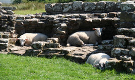 Hadrian's Wall Sheep. Royalty Free Stock Images