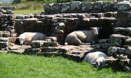 Hadrian's Wall Sheep. Royalty Free Stock Images