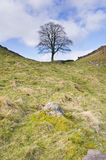 Hadrians Wall sycamore gap vertical. Iconic tree at Sycamore Gap on Hadrians Wall Stock Photo