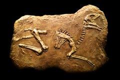 Hadrosaurus Fossil Royalty Free Stock Images