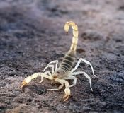 Hadrurus arizonensis, the giant desert hairy scorpion, giant hai Royalty Free Stock Image