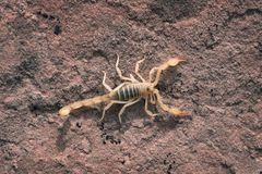 Hadrurus arizonensis, the giant desert hairy scorpion, giant hai. Ry scorpion, or Arizona Desert hairy scorpion is a top view Stock Images
