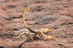 Hadrurus arizonensis, the giant desert hairy scorpion, giant hairy scorpion, or Arizona Desert hairy scorpion in a threatening pos. E stock photography